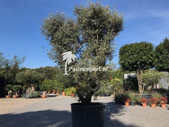 Steeneik 80/100 Rotundifolia meerstammig