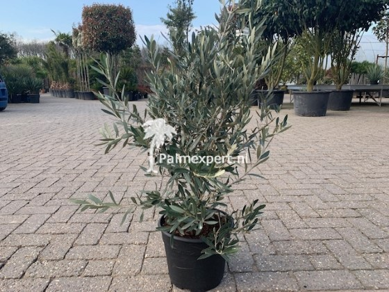 Olijfboom struik  hoogte 80-100cm