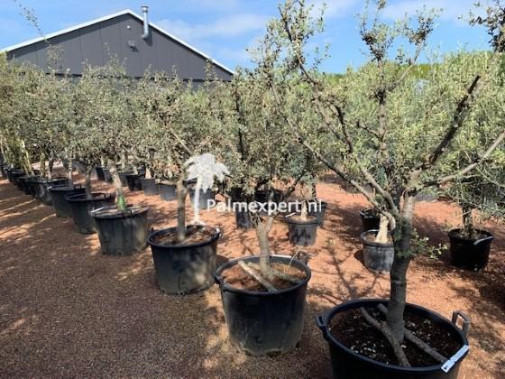 Steeneik 20/25 Rotundifolia halfstam