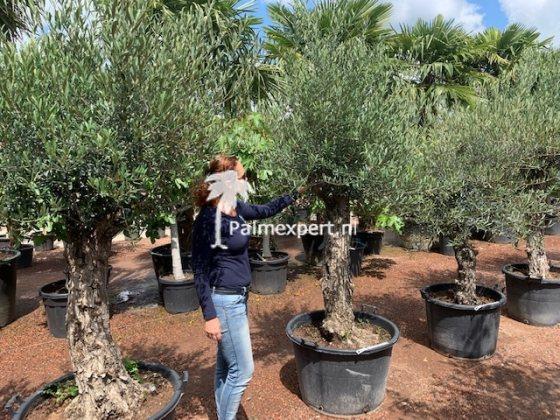 Olijfboom 40/60 Verdial, 1 van de meest winterharde olijfbomen.