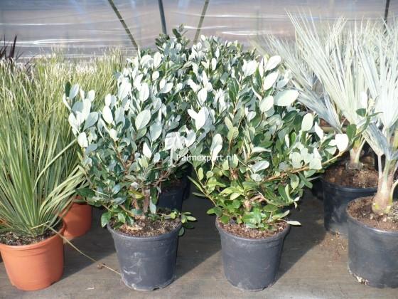 Feijoa sellowiana (voorheen Acca sellowiana)