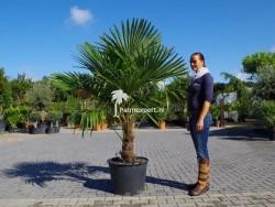 Trachycarpus Fortunei stamhoogte 50cm
