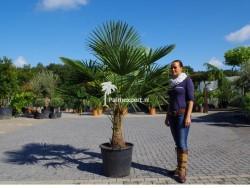 Trachycarpus Fortunei stamhoogte 60cm