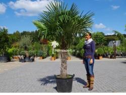 Trachycarpus Fortunei stamhoogte 80cm