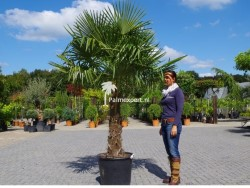 Trachycarpus Fortunei stamhoogte 90cm