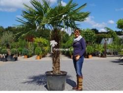 Trachycarpus Fortunei stamhoogte 100cm