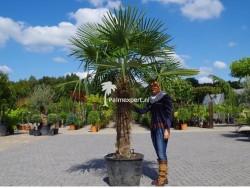 Trachycarpus Fortunei stamhoogte 110cm