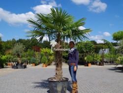 Trachycarpus Fortunei stamhoogte 120cm