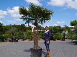 Trachycarpus Fortunei stamhoogte 130cm