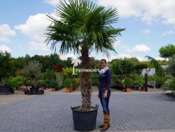 Trachycarpus Fortunei stamhoogte 140cm