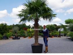 Trachycarpus Fortunei stamhoogte 150cm