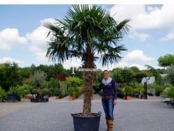 Trachycarpus Fortunei stamhoogte 160cm