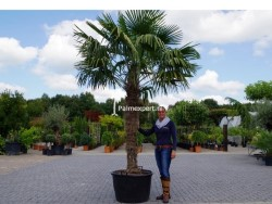 Trachycarpus Fortunei stamhoogte 170cm