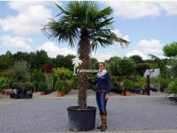 Trachycarpus Fortunei stamhoogte 180cm