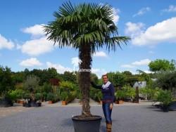 Trachycarpus Fortunei stamhoogte 200cm