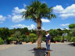 Trachycarpus Fortunei stamhoogte 210cm