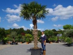 Trachycarpus Fortunei stamhoogte 220cm