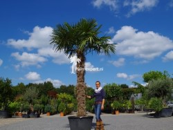 Trachycarpus Fortunei stamhoogte 240cm
