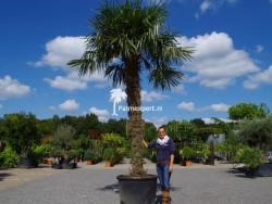 Trachycarpus Fortunei stamhoogte 260cm