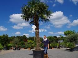 Trachycarpus Fortunei stamhoogte 280cm