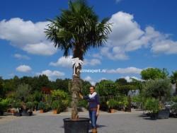 Trachycarpus Fortunei stamhoogte 290cm