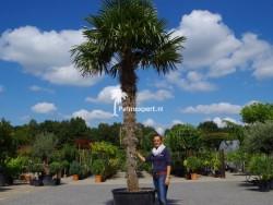 Trachycarpus Fortunei stamhoogte 300cm