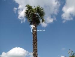 Trachycarpus Fortunei stamhoogte 6 meter