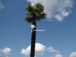Trachycarpus Fortunei stamhoogte 640cm