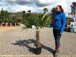 Trachycarpus Fortunei stamhoogte 40cm