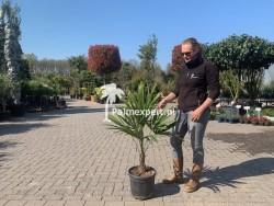 Trachycarpus Fortunei - stamhoogte circa 25cm