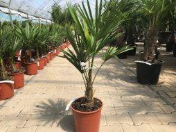Trachycarpus Fortunei stamhoogte 15cm