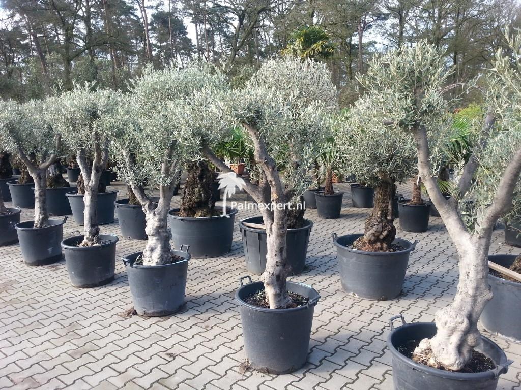 olijfboom kopen?